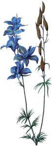 Delphinium-Flower-Image-GraphicsFairy